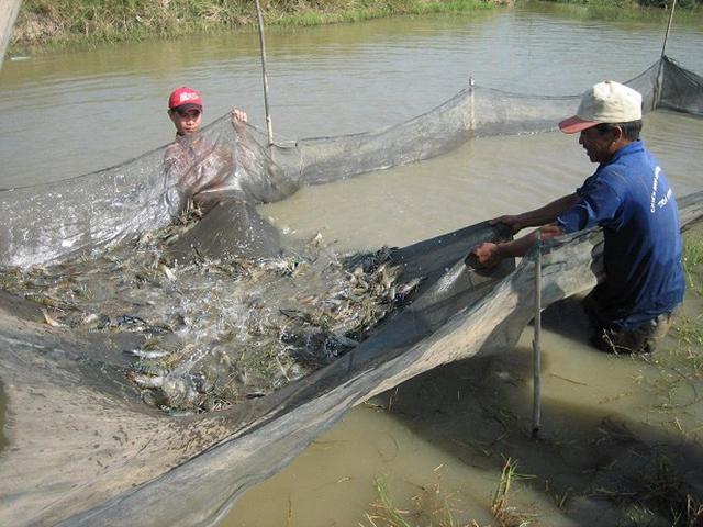 Ứng dụng chế phẩm vi sinh trong nuôi trồng thủy sản